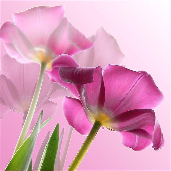 tulips by carol brandt