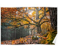 Autumnal oak Poster