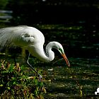 Egret Grabs Stick for Nest by TJ Baccari Photography