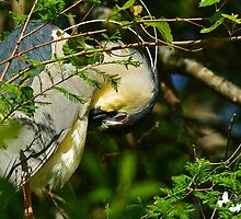 Night Heron Nestled in the Branches by TJ Baccari Photography