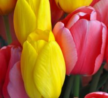 Pink and yellow tulips Sticker