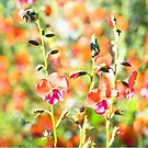 Heart leaf Flame Pea - Australian native wildflower by Kell Jeater