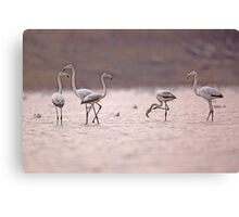 A flock of Greater Flamingo (Phoenicopterus roseus) in a water pool.  Canvas Print