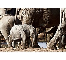 Elephant Calf Photographic Print