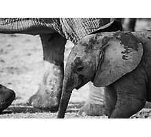 Elephant Calf, South Africa Photographic Print