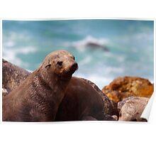 Cape Fur Seal Poster