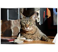 Brown Tabby Poster
