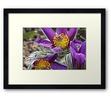 Yellow Stamens and Purple Petals Framed Print