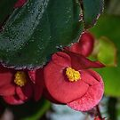Small red flower Leith Park Victoria 20151229 6527   by Fred Mitchell