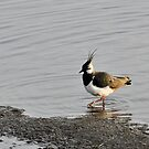 Lapwing (Vanellus vanellus) - Woolston Eyes by Chris Monks