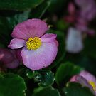 Small magenta flower Leith Park Victoria 20151229 6528   by Fred Mitchell