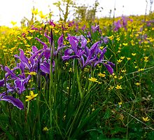 The Iris Glow by Charles & Patricia   Harkins ~ Picture Oregon