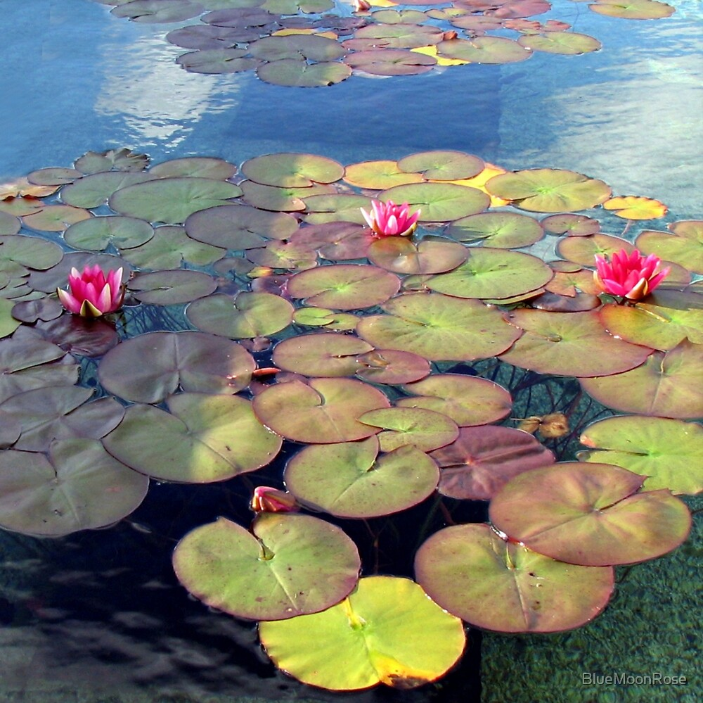 Pink Water Lilies at Sunset  by BlueMoonRose