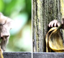 Pig-tailed Macaque Baby Playing, Borneo  Sticker
