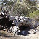 A Fallen Mammoth! Eucalpytus. Shelter for native creatures! Native Reserve. by Rita Blom