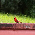 Northern Cardinal: Hilo, Hawai'i by Sally Kate Yeoman