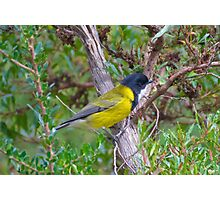 Golden Whistler by David Irwin Photographic Print
