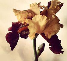 Two-Tone Iris by Barbara Wyeth