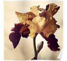Two-Tone Iris Poster