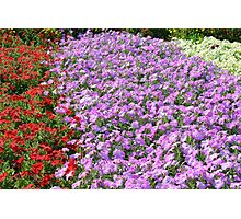 Rows of colorful flowers in the park. Photographic Print