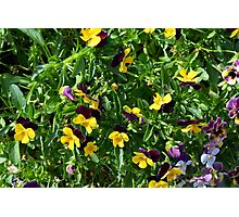 Yellow flowers in the green grass. Photographic Print