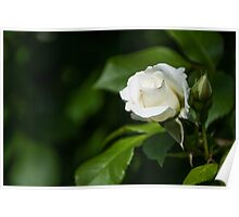 white Rose on the Branch  Poster