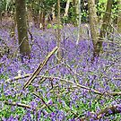 Walking further into the Bluebell woods by Malcolm Chant
