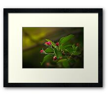 Apple tree bud Framed Print