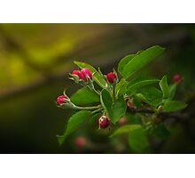Apple tree bud Photographic Print