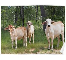Outback Cattle Poster