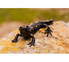Fire Salamander (Salamandra salamandra) Photographic Print