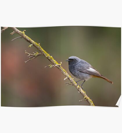 Black Redstart (Phoenicurus ochruros) perched on a branch Poster