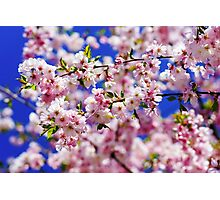 Beautiful pink flowers of cherry on blue sky background, april in France Photographic Print