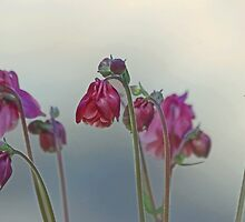 Columbines in the Mist by Eileen McVey