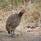 Red-Necked Spurfowl (Pternistis afer) by Ludwig Wagner