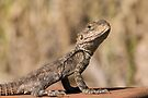 Agama Lizard by Neil Bygrave (NATURELENS)