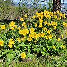 Balsamroot in Bloom  by Don Siebel