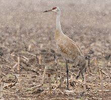 Sandhill Crane 2016-2 by Thomas Young