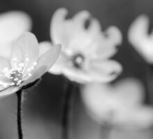 Anemone hepatica II - BW Sticker