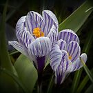 Messengers of spring by Thea 65