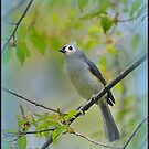 Tufted Titmouse in a Choke Cherry Tree by Deb  Badt-Covell