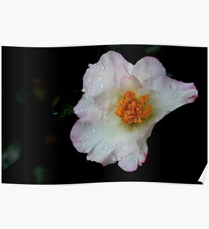 Camellia - An Autumn Flower Poster