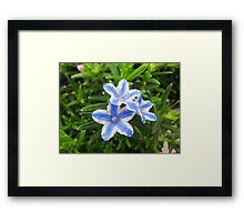 Blue Star Lithodora Framed Print