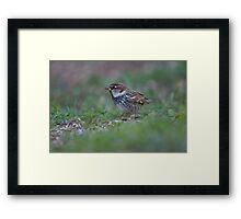 Spanish sparrow or willow sparrow (Passer hispaniolensis)  Framed Print