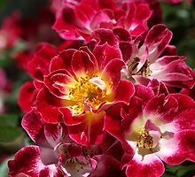 The Beauty Of Carpet Roses  by Joy Watson