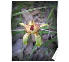 Amazing Aussie Bee Orchid Poster