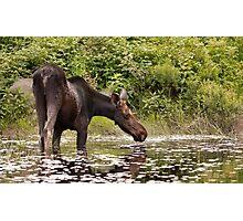 Moose in pond - Algonquin Park Photographic Print