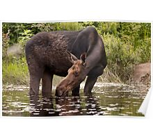 My dinner with a moose - Algonquin Park Poster