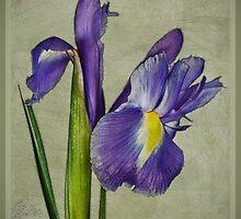 Iris by Margaret Chilinski