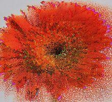 Orange Gerbera by Margaret Chilinski
